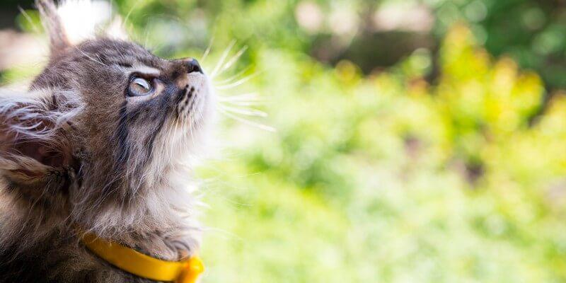 Chat avec un collier gps pour chats